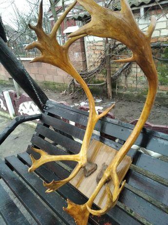 Красивые и большие рога оленя
