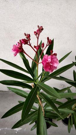 Oleandry - rośliny ozdobne (różowe)