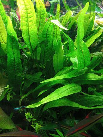Roslina - Microsorium pteropus (Mikrozorium oskrzydlone)