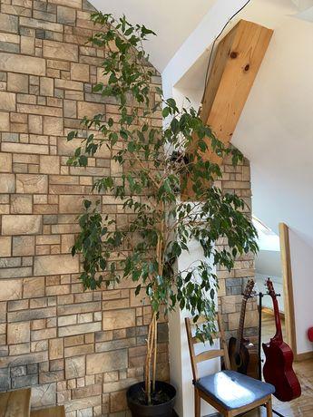 Fikus benjamina figowiec benjamina 3 m do wysokich wnętrz lub na taras