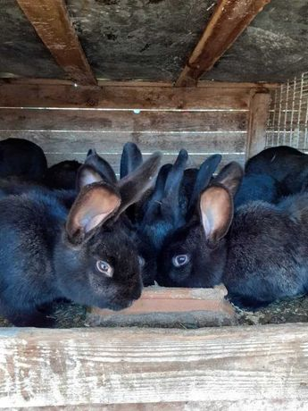 Sprzedam króliki mieszańce mięsne