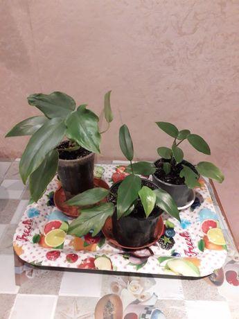 Филодендрон комнатные растения