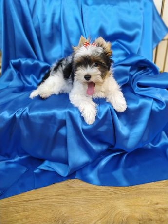Piesek-Biewer Yorkshire Terrier z metryką ZKwP/ FCI