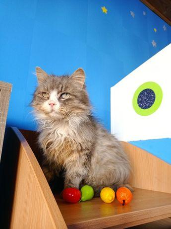 Пушистый серый кот, крупный, очень ласковый