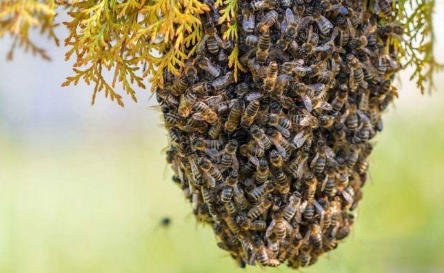 """Пчеломатки. Молодые матки. С 23 апреля. Карпатка """"Колочавская""""."""