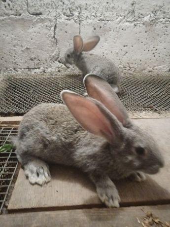 Młode króliki po samcu Belgu