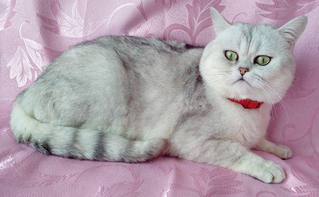 Шотландский кот на вязку