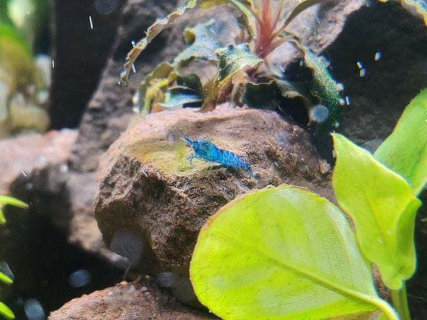 Camarão azul - Camarões Blue Dream - pack 10