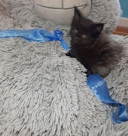 Красивый котенок Мейн-кун, черный дым!Резерв