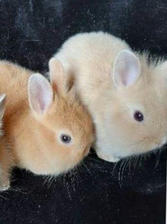 Декоративні кролики,кролик