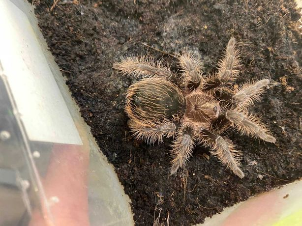 Павук ручний для початківців , павуки птахоїди