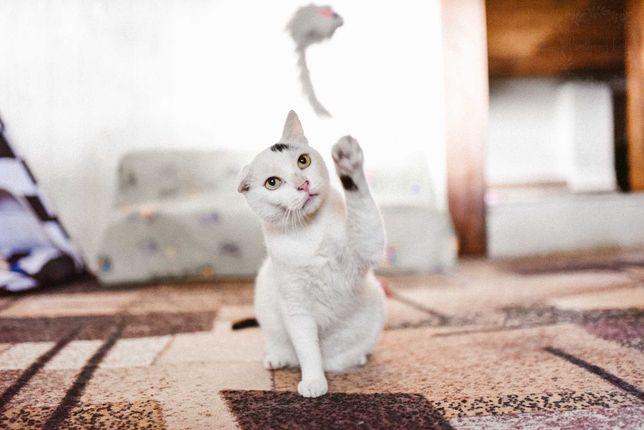 Śnieżna kotka do adopcji