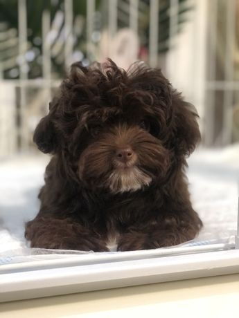 Teddy poodle male