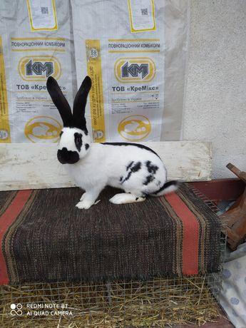 Кролики німецький строкач