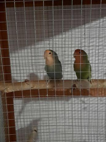 Papugi nierozłączki para