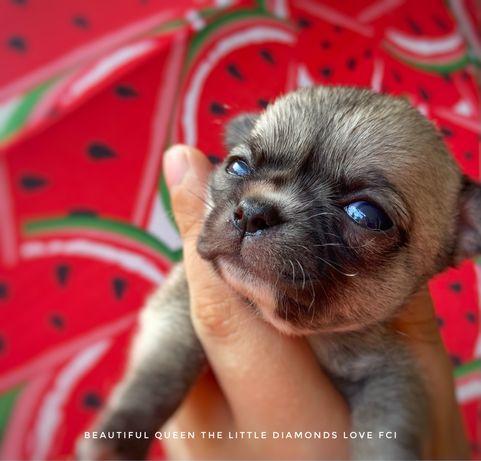 Chihuahua dziewczynka ZKwP FCI
