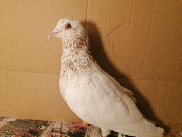 Gołąb pocztowy almond