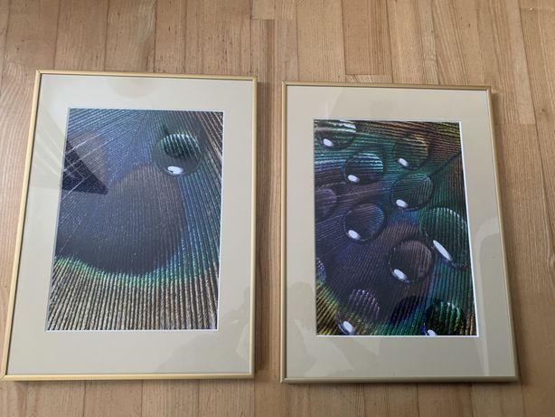 Obrazki nowe 30x40 pawie pióra macro ramka złota