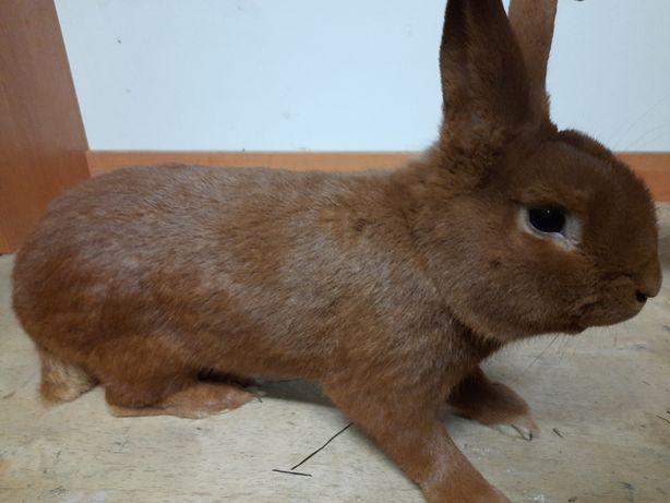 Zakot samic królik Nowozelandzki Czerwony