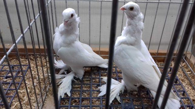 Gołębie ozdobne mewki egipskie białe para