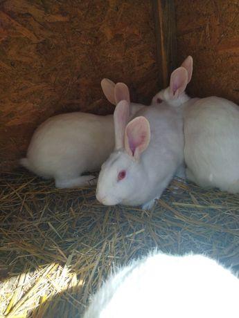Termondzki biały- samice