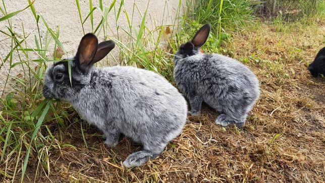 królik króliki WJS jasnosrerzysty samica
