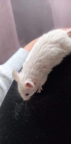 Małe myszki!!! ZAPOWIEDŹ