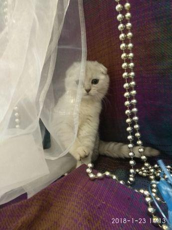 Шиншилла котик клубный