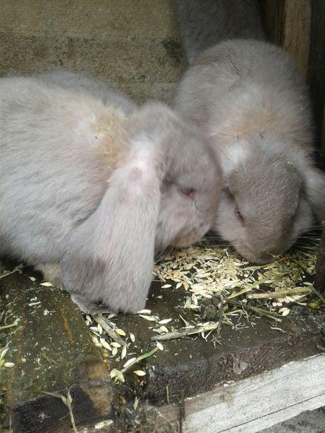 Продам кроликов фр.баран