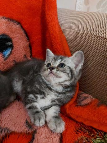 Чистокровні кошенятка! Найкращий подарунок!