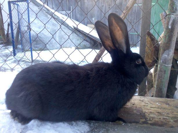 Кролики м'ясних порід