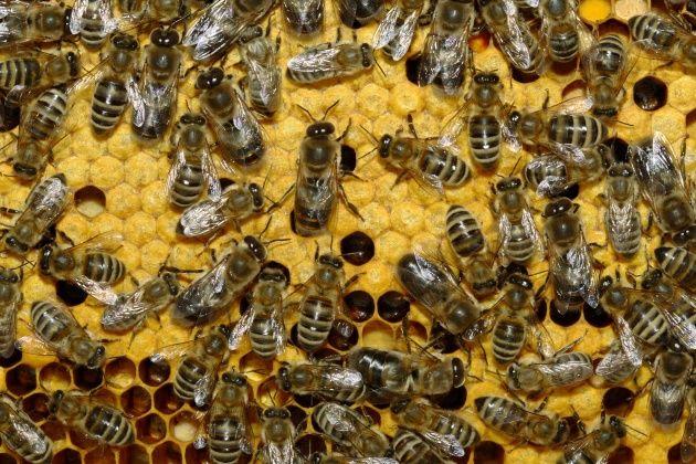 Бджолосемьи