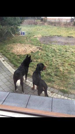 Zaginął Pies gończy polski
