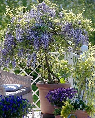 Глициния Fairy Garden - сиреневая красавица.