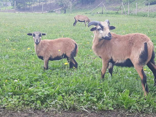 Owce Kameruńskie
