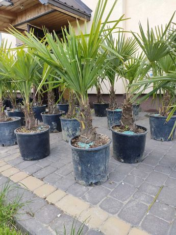 Mrozoodporna palma Trachycarpus  Fortunei pień 5-15 cm