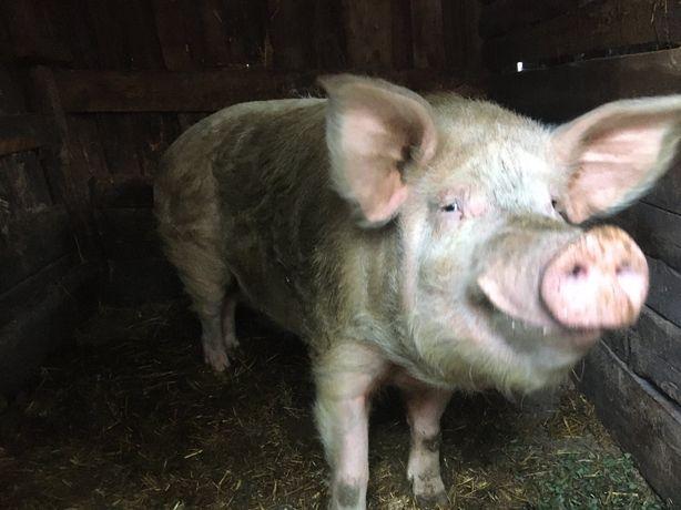 Продам живым весом кабана и свиней общий вес до 1000 т.