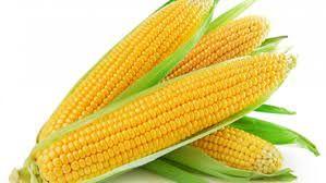 Nasiona Kukurydzy SY TORINO Fao 270/280 50tys nasion