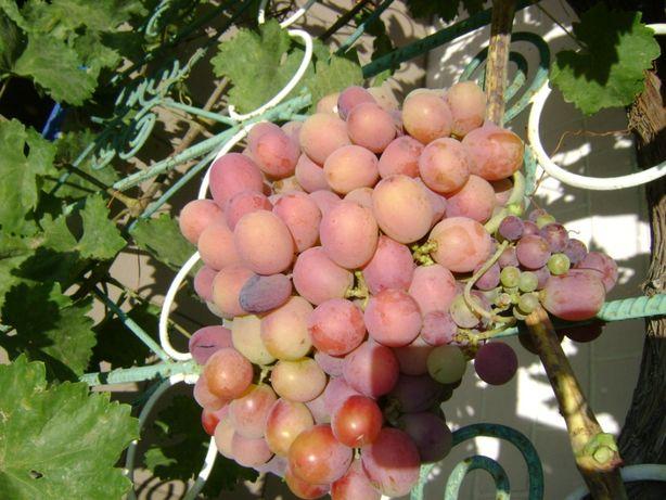 Продам саженцы винограда Тайфи (розовый)