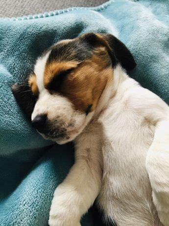 Beagle tricolor / rodowód