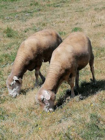 2 ovelhas alentejanas