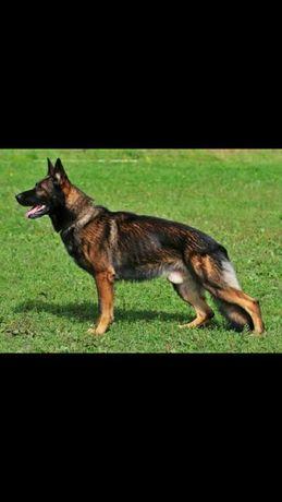 Продам щенков немецкой овчарки зонарного окраса