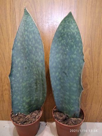 Сансевиерия сансевьерия сортовая Массониани  Виктория 55 см
