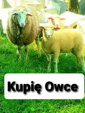 Owce Barany Owce