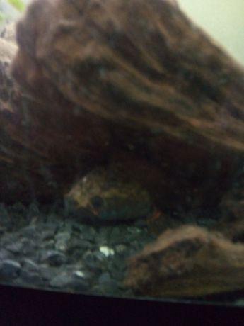 Wężogłów Blehera channa bleheri 15cm