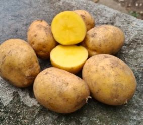 Gala ziemniaki wielkości sadzeniaka - DOWÓZ !!