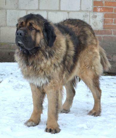 Owczarek Kaukaski Młody Pies