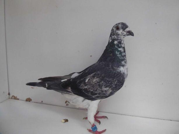 Gołębie pocztowe Gołąb Młodego 2021 r. van Loon  rodowodem