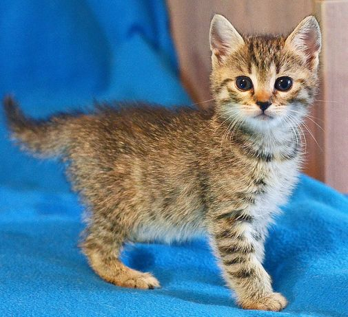 Чудове кошеня Бося шукає добрі ручки, котенок, кішка, кошка 2 міс
