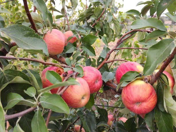 Продаются яблоки урожая 2021 года